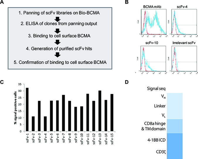 Identification of ScFv clones from human B cell antibody libraries that bind to cell surface-expressed BCMA.