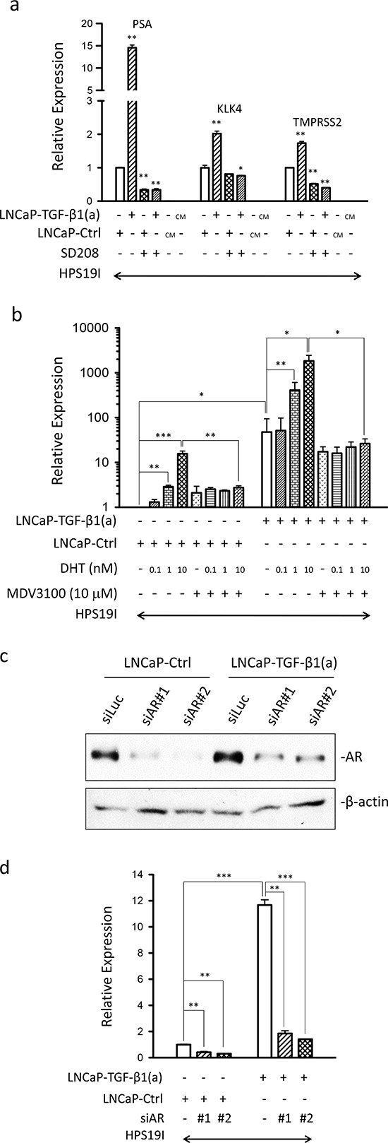 Prostate stromal TGF-β signaling induces AR activation in the co-cultured LNCaP cells.