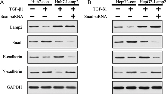 Lamp2 reduced the development of EMT via suppressing Snail expression.