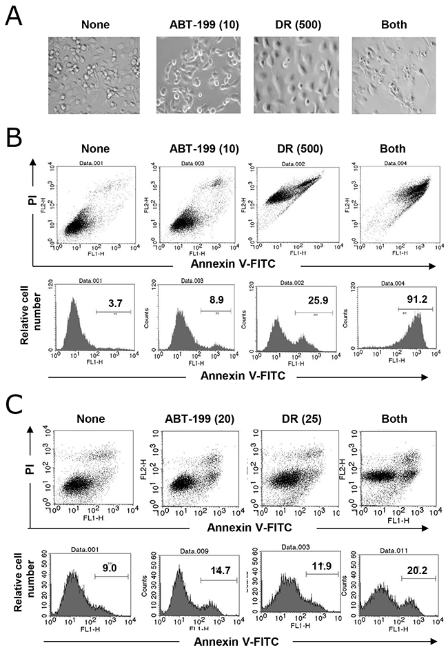 Apoptosis in TNBC cells following combination treatment with DR and ABT-199.