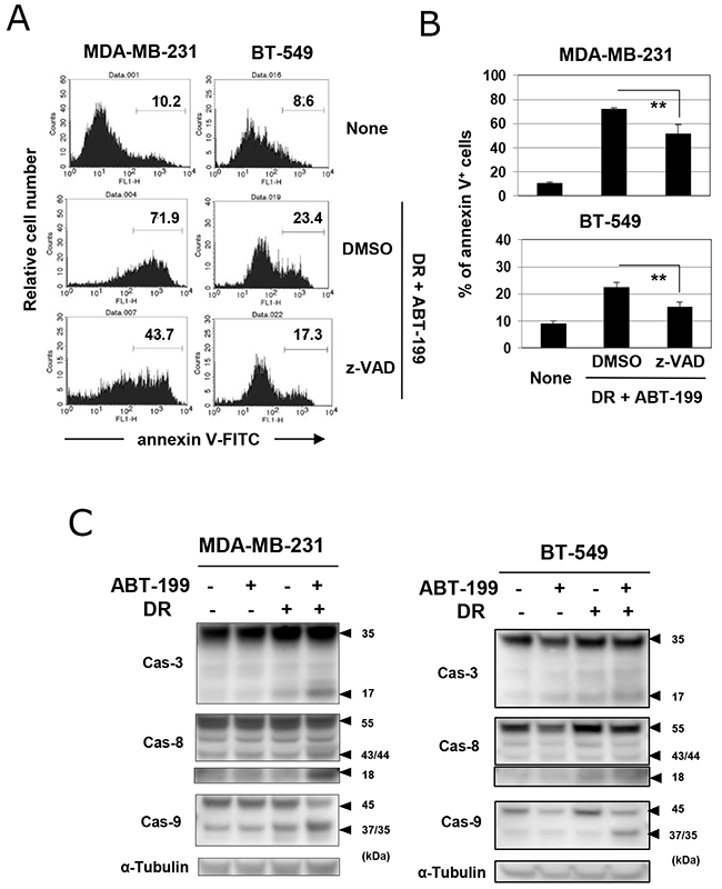 Caspase-dependent apoptosis in TNBC cells treated with DR and ABT-199.