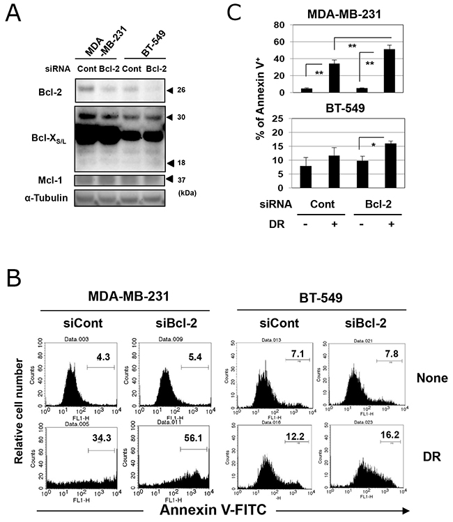 Genetic knockdown of Bcl-2 increased the sensitivity of TNBC cells to DR.