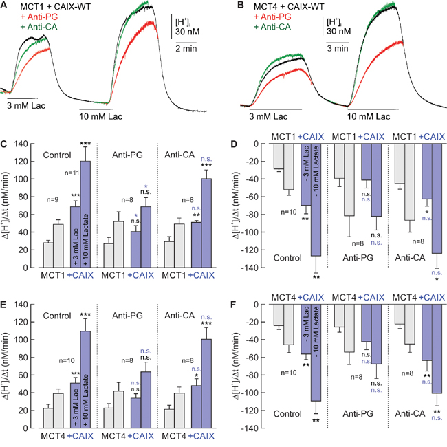 Antibodies directed against the PG domain, but not against the catalytic domain of CAIX impair functional interaction between MCT1/4 and CAIX.