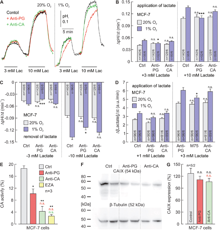 Antibodies directed against the PG domain, but not against the catalytic domain of CAIX reduce lactate transport in hypoxic MCF-7 cells.