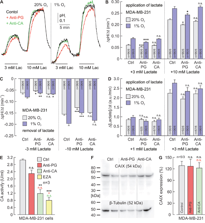 Antibodies directed against the PG domain, but not against the catalytic domain of CAIX reduce lactate transport in MDA-MB-231 cells.