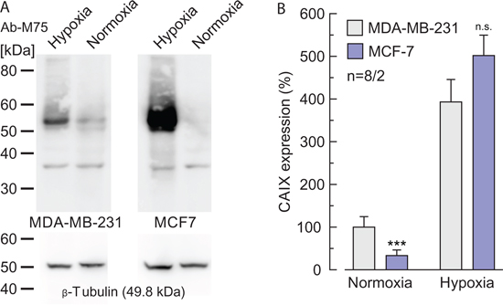 Expression levels of CAIX in normoxic and hypoxic MCF-7 and MDA-MB-231 cells.
