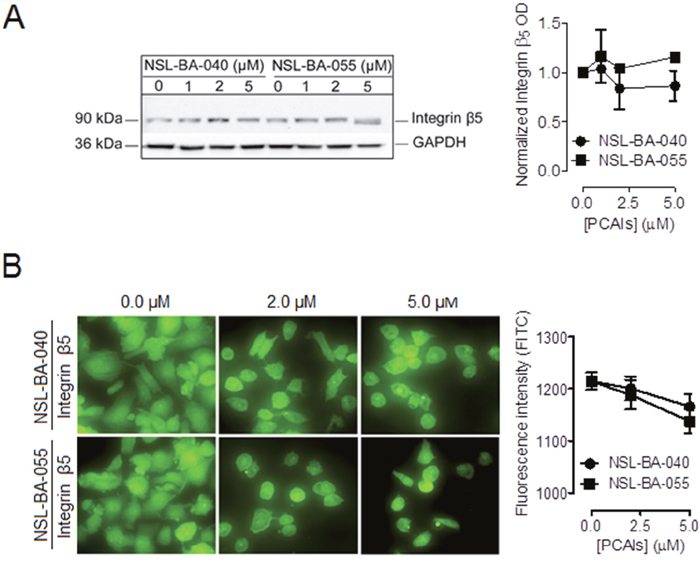PCAIs do not significantly alter the levels of integrin β5.