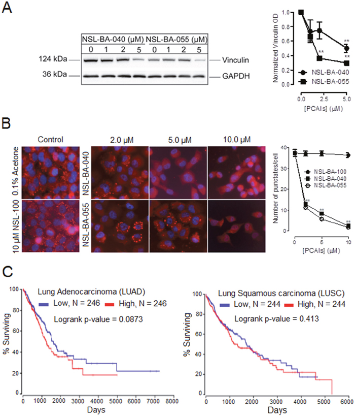 PCAIs diminish the levels of vinculin to suppress the formation of vinculin punctuates at focal adhesion and clinical relevance of vinculin mRNA levels in lung cancer.