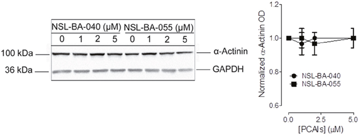 PCAIs do not significantly alter the levels of α-actinin.