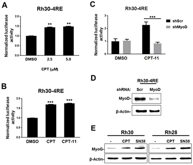 CPT treatment restores MyoD-mediated gene activation in aRMS cells.