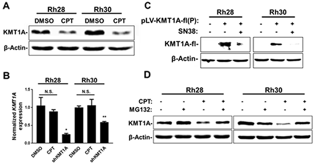 CPT treatment leads to downregulation of KMT1A protein in aRMS cells.
