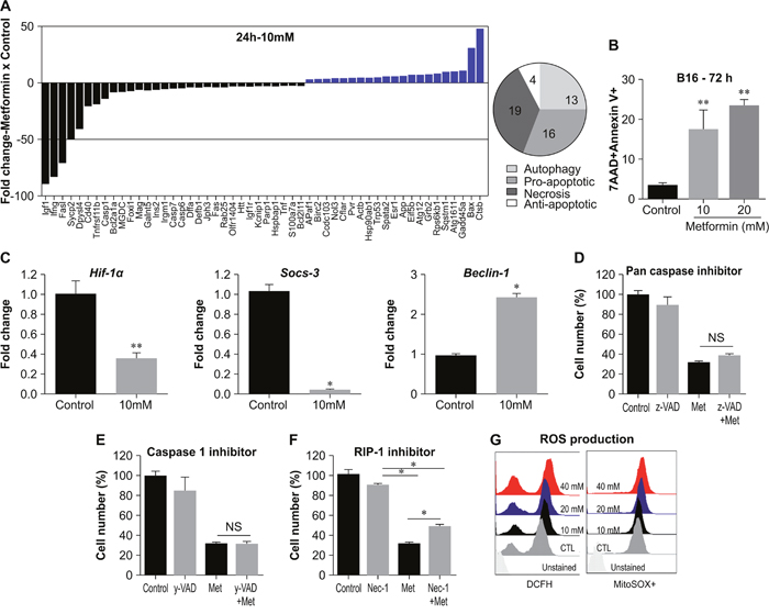 Metformin induces different cell death mechanisms in B16F10 melanoma cells.