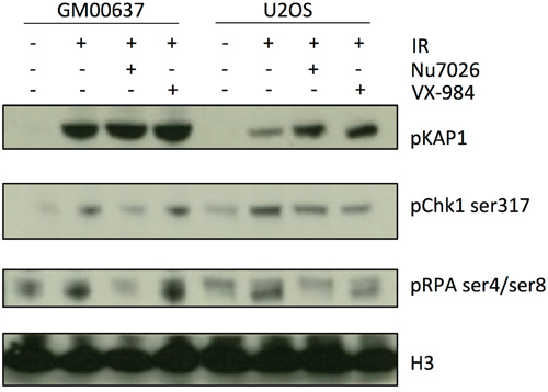 VX-984 inhibits phosphorylation of the DNA-PKcs substrate, RPA-Ser4/Ser8 in transformed cells.