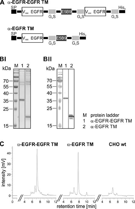 Biochemical characterization of the mono- and bivalent EGFR-specific TM.
