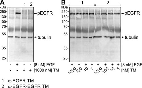Influence of the mono- and bivalent EGFR-specific TMs on EGFR signaling.