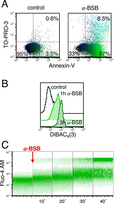 α-BSB caused rapid loss of plasma membrane integrity in B-CLL cells.