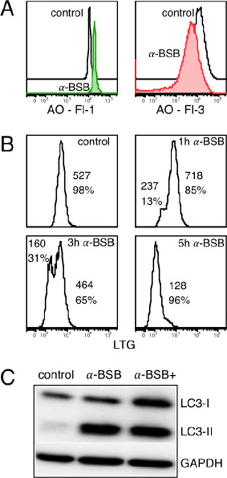 α-BSB induced lysosomal membrane injury and blocked autophagic flux in B-CLL cells.