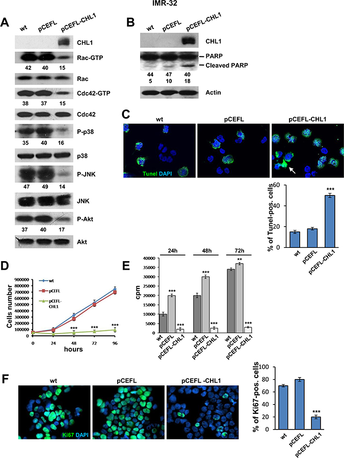 Over-expression of CHL1 inhibits proliferation of NB cells.