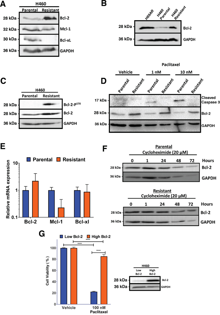 Paclitaxel resistant H460 cells express elevated levels of Bcl-2.