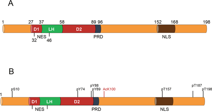 Representation of the key functional domains of p27 along with the most relevant post-translational modifications.