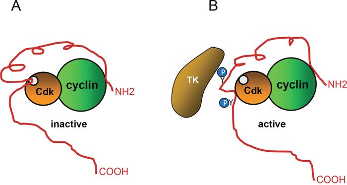 Regulation of p27 activity by phosphorylation.