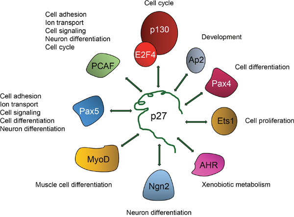 Regulation of transcriptional activity by p27 is mediated by its association with different transcriptional regulators.