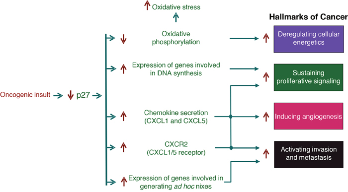 Role of the transcriptional regulatory function of p27 in cancer.