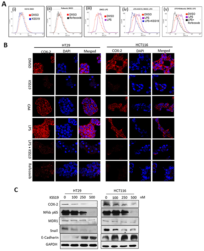 Effect of KSS19 on COX-2 in colon cancer cells.