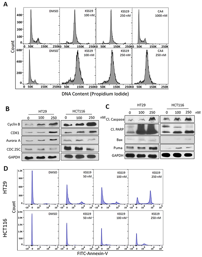 KSS19 induces G2/M cell cycle arrest and apoptosis.