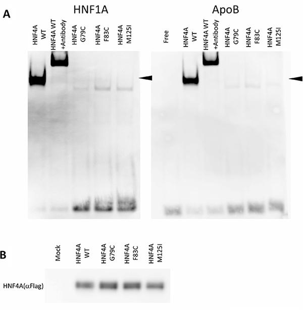 DNA-binding properties of HNF4A mutants.