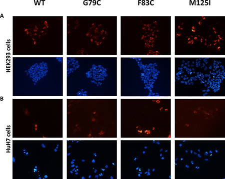 Nuclear localization of HNF4A mutants using immunofluorescent staining.