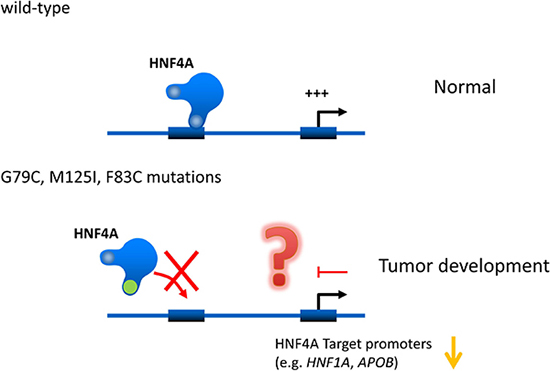 Hypothetical effects of novel human HNF4A mutations on its transcriptional activity on target promoters.