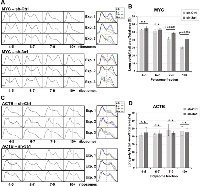 Density profiles of MYC and ACTB poly(A) tails and poly(A) peak area measurements for three independent experiments in eRF3a-depleted and control cells.