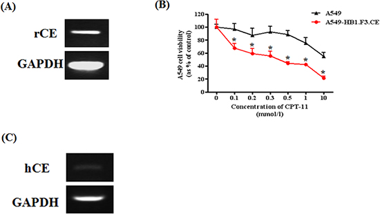 Expression of therapeutic gene in HB1.F3.CE cells and anticancer effect of stem cells with prodrug against A549 lung cancer cells.