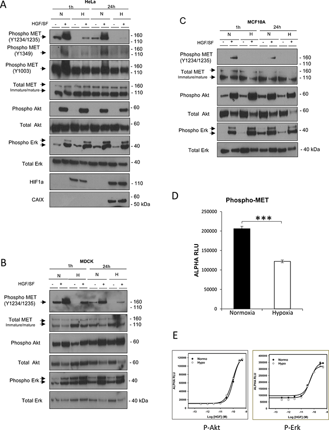 Effect of hypoxia on MET phosphorylation and activation of the Akt and Erk downstream pathways.