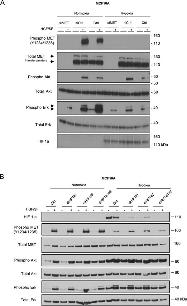 Involvement of MET in Akt and Erk pathway activation under hypoxia.