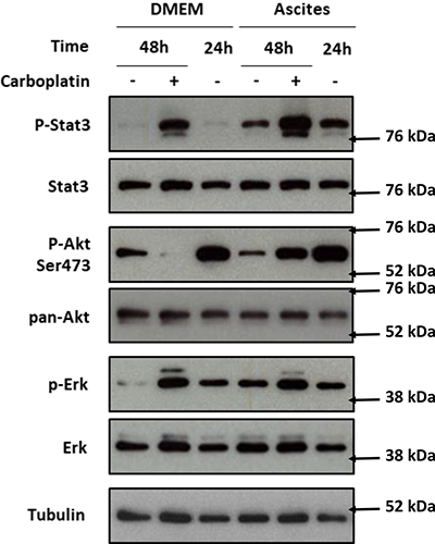 PI3K/Akt, STAT3 and MAPK protein pathway activation after IGROV-1 incubation with ascites and treatment with carboplatin.
