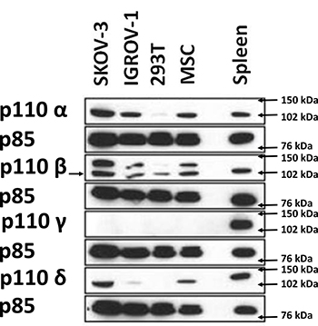 Western blot analysis demonstrating the expression of different class I PI3K isoforms on 2 HOCC lines as well as on mesenchymal stem cells from the tumor microenvironment.