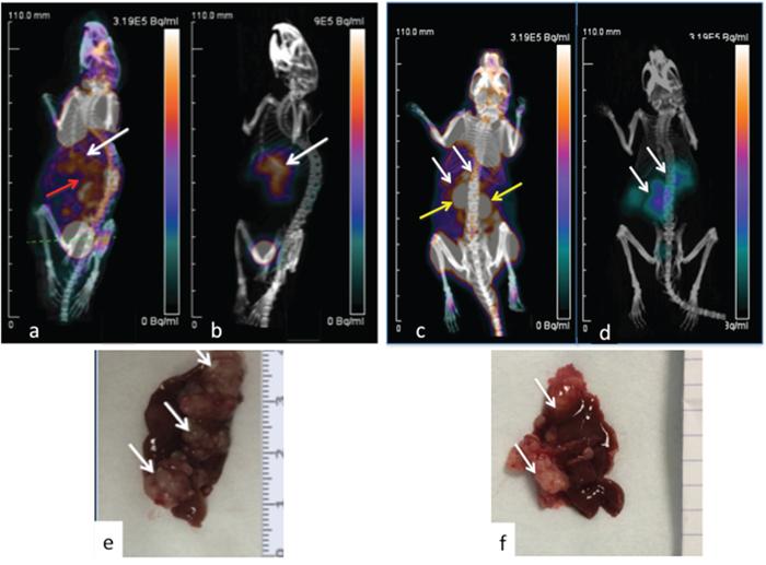 PET imaging of hepatic LS174T metastases (white arrows) in two mice.