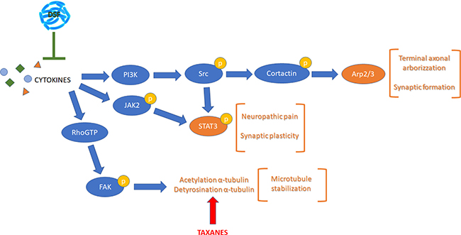 Schematic representation of the pathways considered illustrating most of the proteins analyzed.