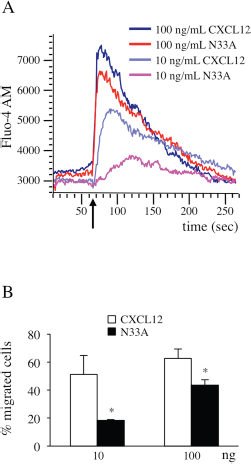 CXCL12 and N33A exhibit different potency in G protein-dependent functions in Jurkat cells.