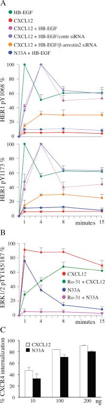 β-arrestin-dependent functions are differentially affected by CXCL12 and N33A.