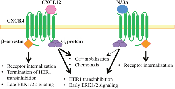 Schematic representation of intracellular signals triggered by CXCL12 and N33A.