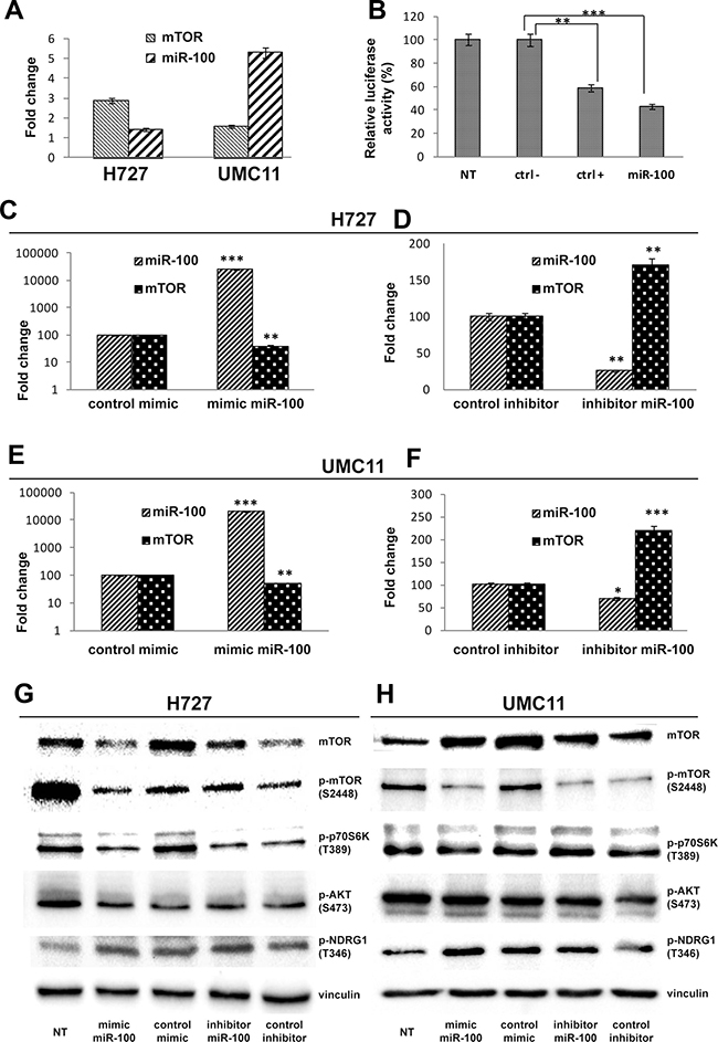 MiR-100 modulates mTOR expression levels in carcinoid cell lines.