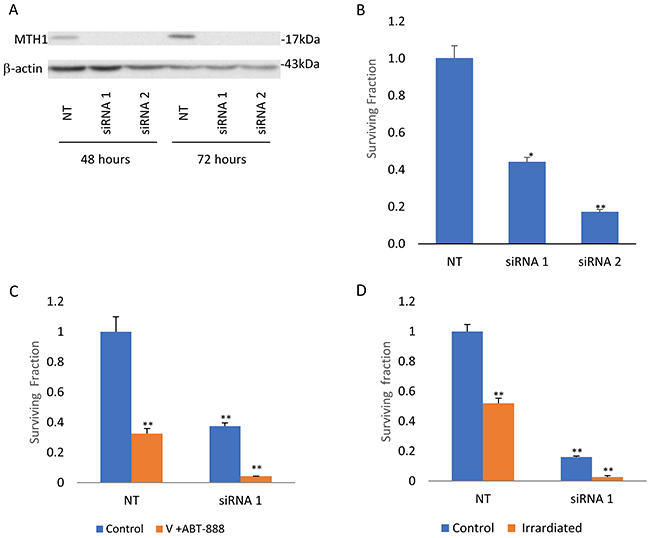 Abrogation of MTH1 expression decreases survival and increases sensitivity to combined treatment of vorinostat and ABT-888 and to ionizing irradiation: KNS-42 cells were transfected with MTH1 and control non-targeting (NT) siRMAs and processed for Western blot analysis or cell survival assays as described in methods.
