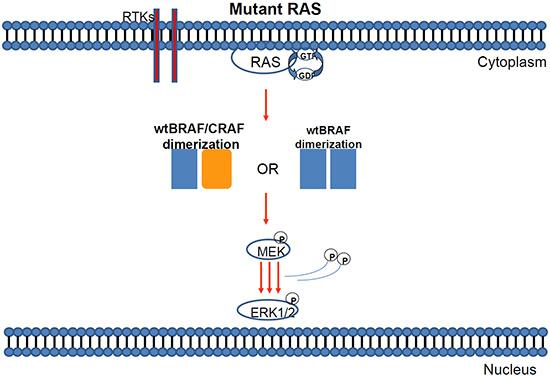 Mutant KRAS can induce either BRAF/BRAF or BRAF-CRAF dimerization of wild type proteins.