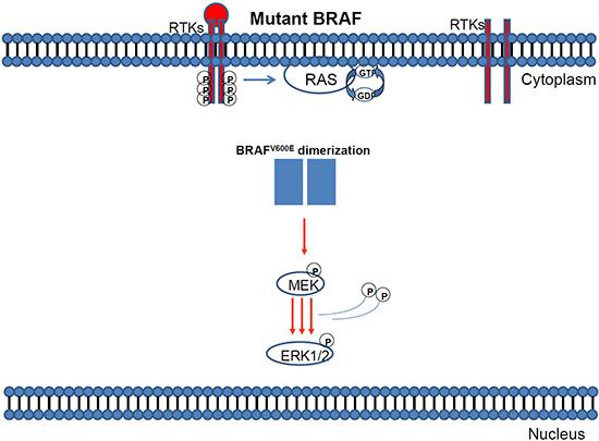 Mutant BRAF activation via protein dimerisation.