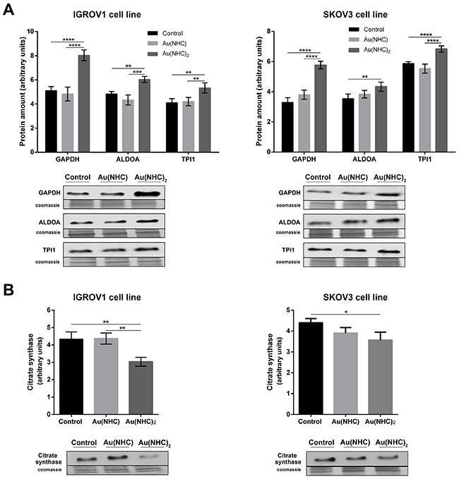 Effects of carbenes on the level of selected glycolytic and mitochondrial enzymes in IGROV1 and SKOV3 cells.