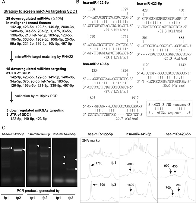 Potential microRNAs regulated SDC1 gene expression in breast cancer cells.