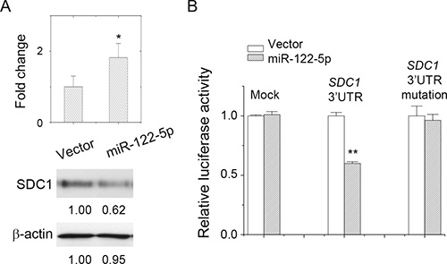 miR-122-5p targeted at SDC1_3′UTR and downregulated SDC1 expression.